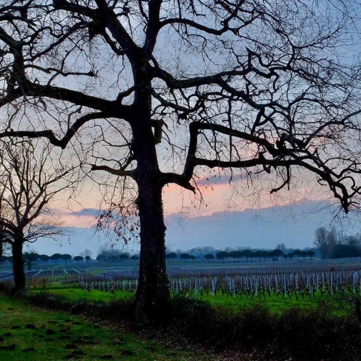 Château Anthonic,des arbres dans les vignes